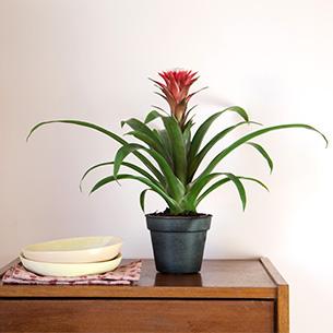 Plantes vertes et fleuries Guzmania Collection Hommes