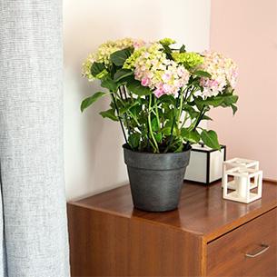 Plantes vertes et fleuries Hydrangea Anniversaire