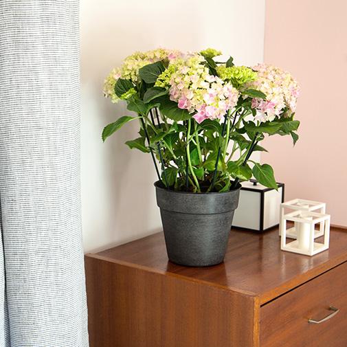 Plantes vertes et fleuries Hydrangea