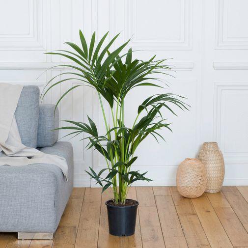 Plantes vertes et fleuries Kentia et son arrosoir doré