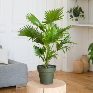 Plantes vertes et fleuries Palmier Livistona
