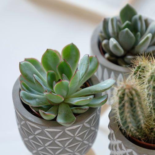 Plantes vertes et fleuries Trio de mini cactus et succulentes