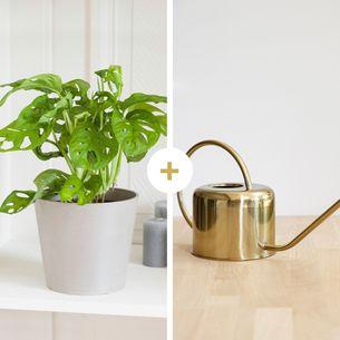 Plantes vertes et fleuries Monstera Monkey et son arrosoir doré