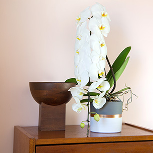 Plantes vertes et fleuries Phalaenopsis Formidablo Anniversaire