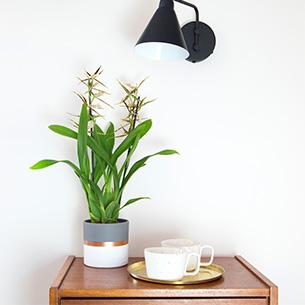 Plantes vertes et fleuries Cambria Melissa Anniversaire