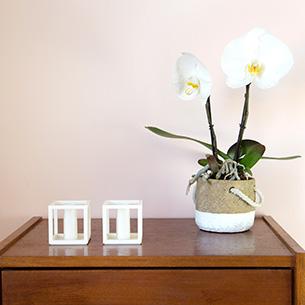 Plantes vertes et fleuries Phalaenopsis Singolo Anniversaire