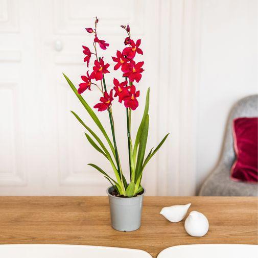 Plantes vertes et fleuries Cambria Nelly isler