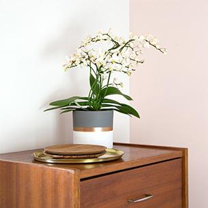 Plantes vertes et fleuries Phalaenopsis multifleurs + cache pot Collection Hommes
