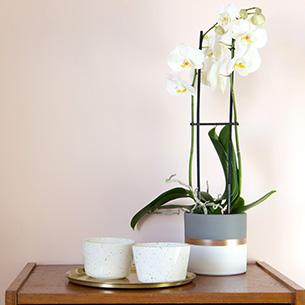 Plantes vertes et fleuries Phalaenopsis Nevada + cache pot Deuil
