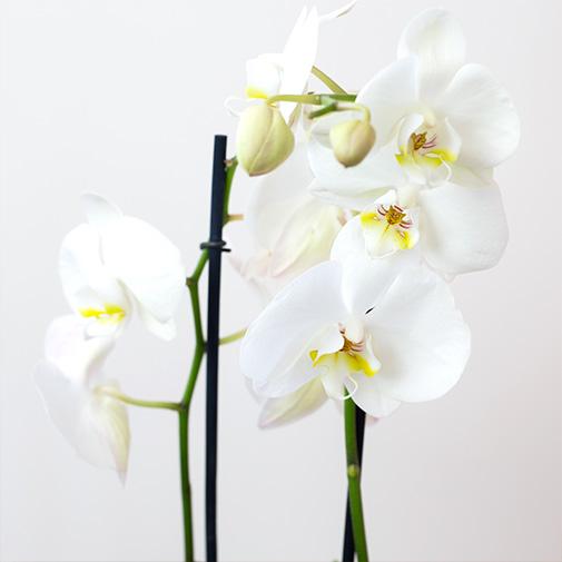 Bouquet de fleurs Phalaenopsis blanc et son écrin de chocolats FAUCHON