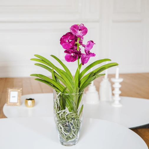 Plantes vertes et fleuries Vanda
