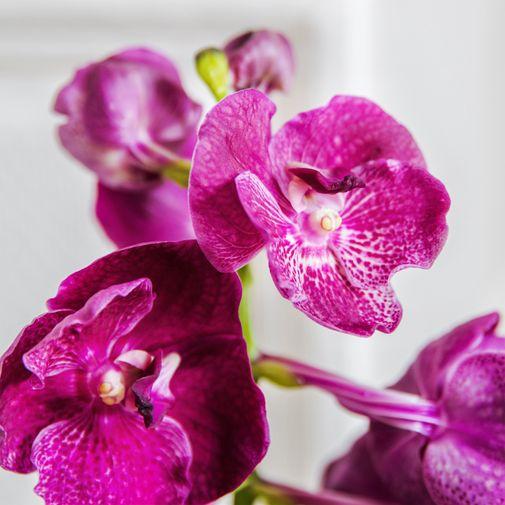 Plantes vertes et fleuries Vanda Lhassa