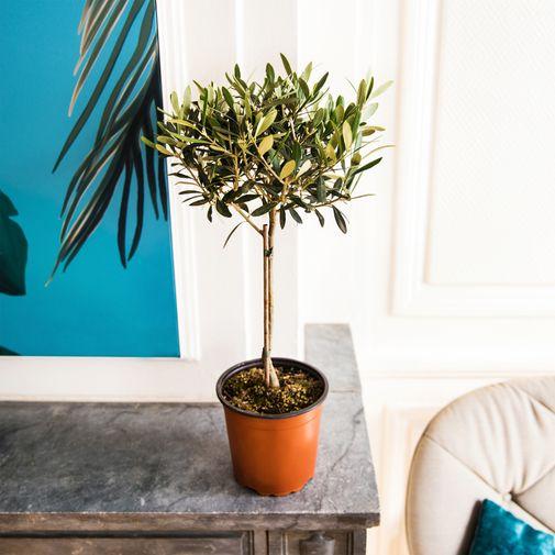 Plantes vertes et fleuries Olivier tige 65 cm