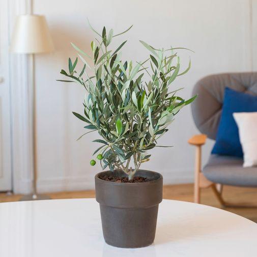 Plantes vertes et fleuries Olivier avec cache pot terre