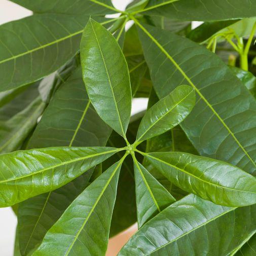 Plantes vertes et fleuries Pachira Aquatica