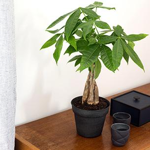 Plantes vertes et fleuries Pachira Anniversaire