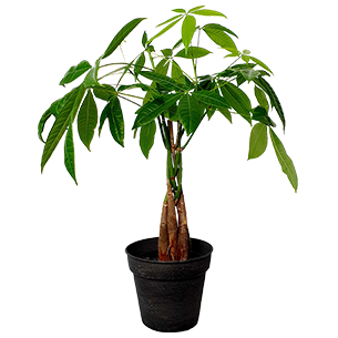 Plantes vertes et fleuries Pachira Bon rétablissement