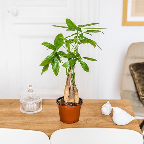 Plantes vertes et fleuries Pachira
