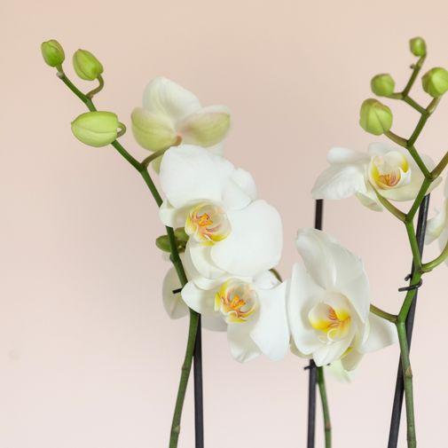 Bouquet de fleurs Orchidée phalaenopsis blanc 3 branches et son cache pot