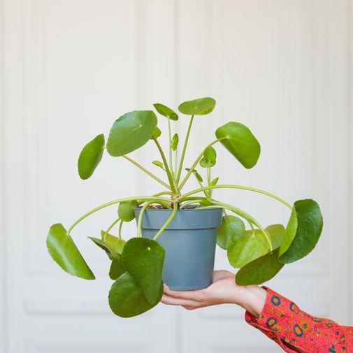 Plantes vertes et fleuries Pilea