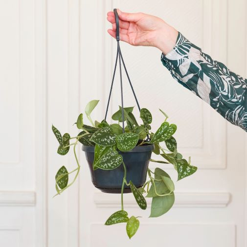 Plantes vertes et fleuries Pothos