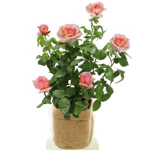 Plantes vertes et fleuries Rosier jardin