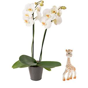 Fleurs et cadeaux Bébé joueur Sophie la girafe Naissance