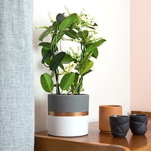 Plantes vertes et fleuries Stéphanotis + cache pot Remerciements