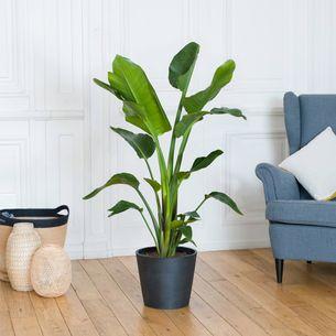 Plantes vertes et fleuries Strelitzia Nicolai