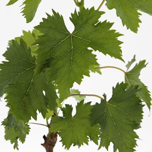 Fleurs et cadeaux Pied de vigne & son coffret apéritif FAUCHON
