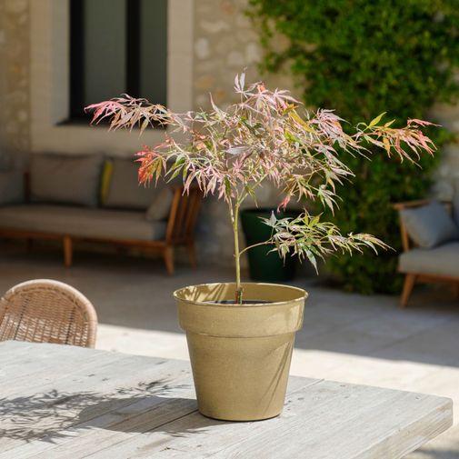 Plantes vertes et fleuries Erable du Japon