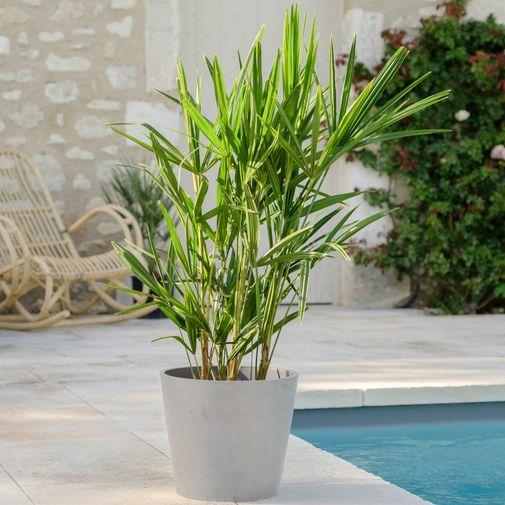 Plantes vertes et fleuries Palmier de Chine