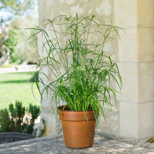 Plantes vertes et fleuries Papyrus