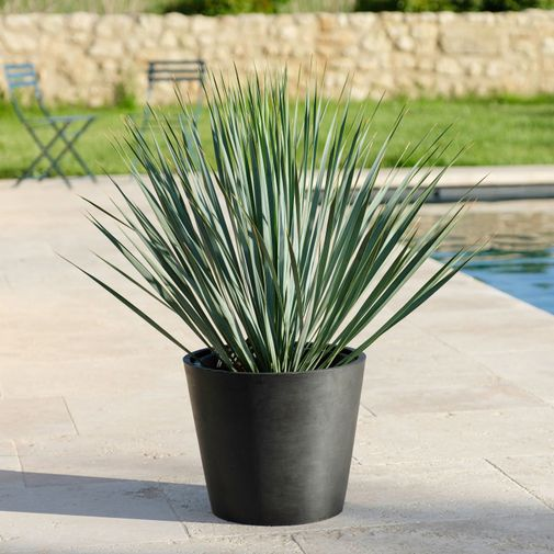 Plantes vertes et fleuries Yucca Rostrata
