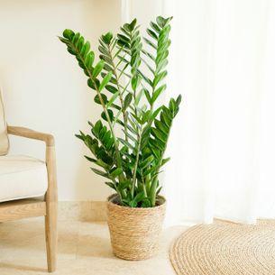 Plantes vertes et fleuries Zamioculcas