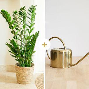 Plantes vertes et fleuries Zamioculcas et son arrosoir doré