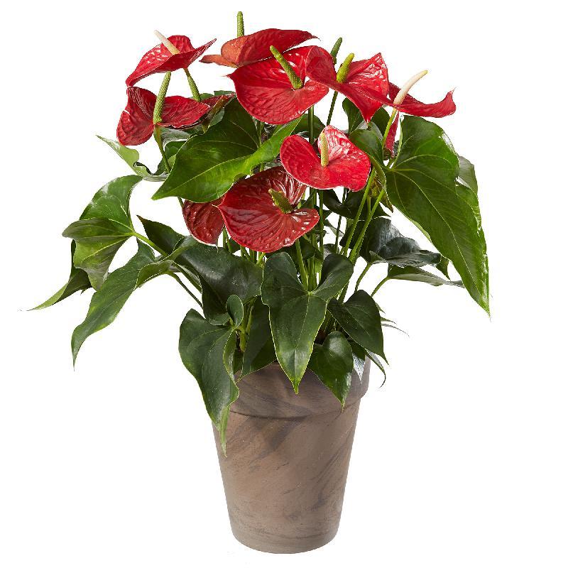 Bouquet de fleurs Anthurium Plant in a cachepot