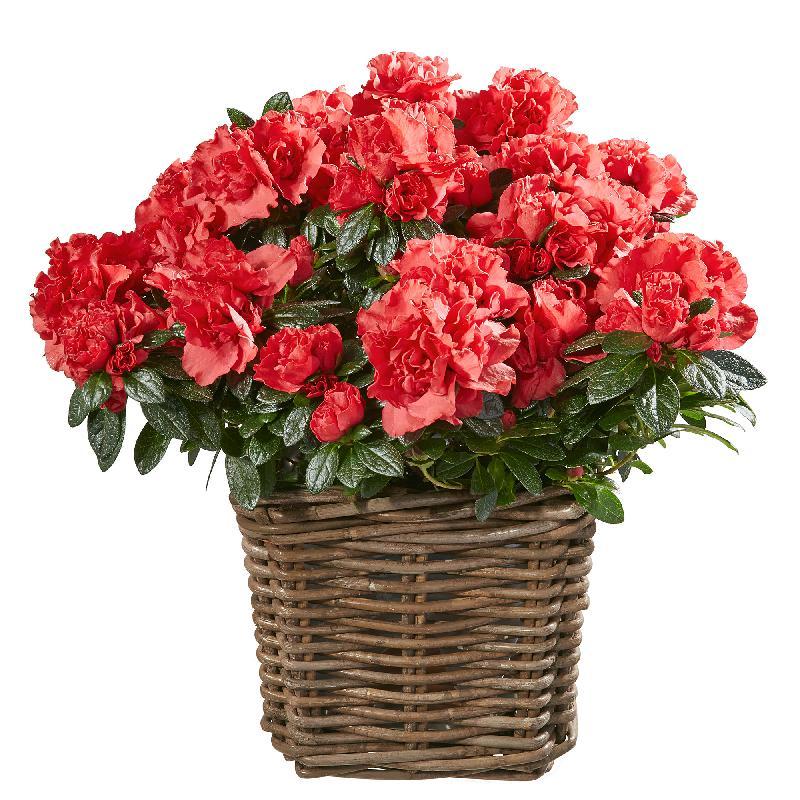 Bouquet de fleurs Azalea (red)