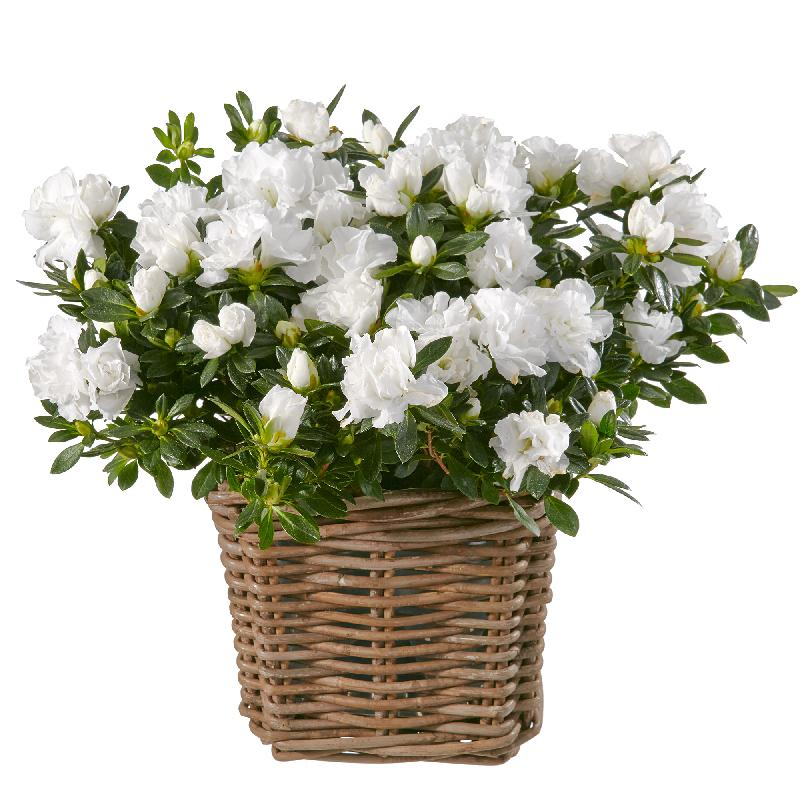 Bouquet de fleurs Azalea (white)