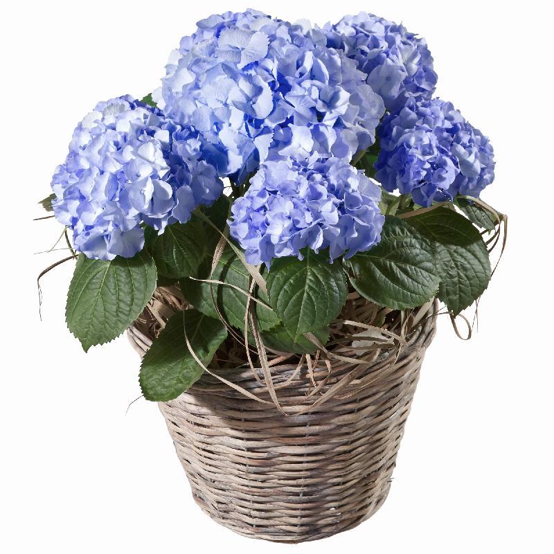 Bouquet de fleurs Hydrangea (blue)