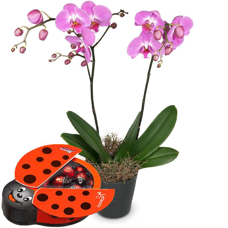 Bouquet de fleurs Pink Dream (orchid) with chocolate ladybird
