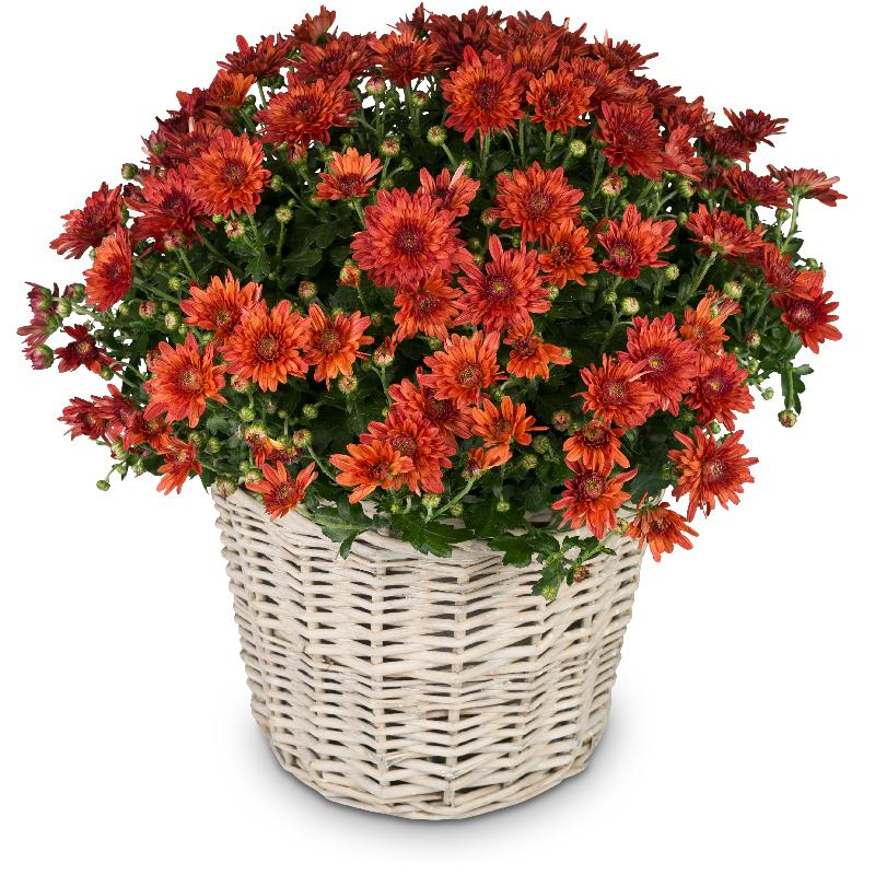 Bouquet de fleurs Love and Memory (red chrysanthemum for the cemetery)