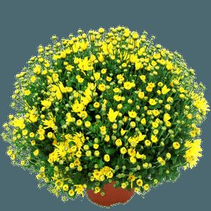 Bouquet de fleurs Chrysanthème unicolore petites fleurs Toussaint