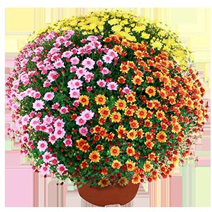 Bouquet de fleurs Chrysanthème multicolore petites fleurs