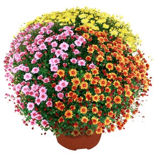 Bouquet de fleurs Chrysanthème multicolore petites fleurs Toussaint