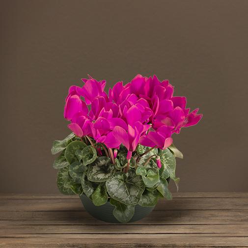 Fleurs deuil Coupe de cyclamen