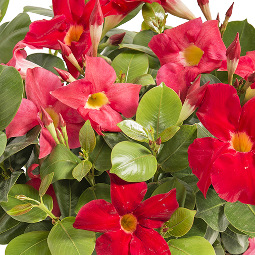 Fleurs deuil Coupe de dipladénias