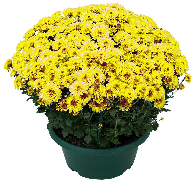 Fleurs deuil Chrysanthème unicolore petites fleurs