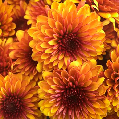 Fleurs deuil Duo de chrysanthèmes multicolores petites fleurs