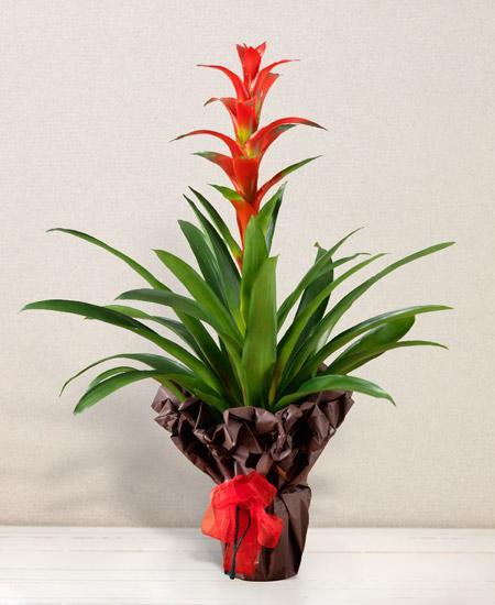 Bouquet de fleurs Guzmania